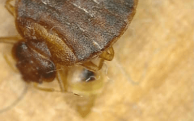 To Prep or Not to Prep For  New York City Bed Bug Removal Treatment?