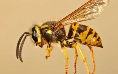 YELLOWJACKET PREVENTION